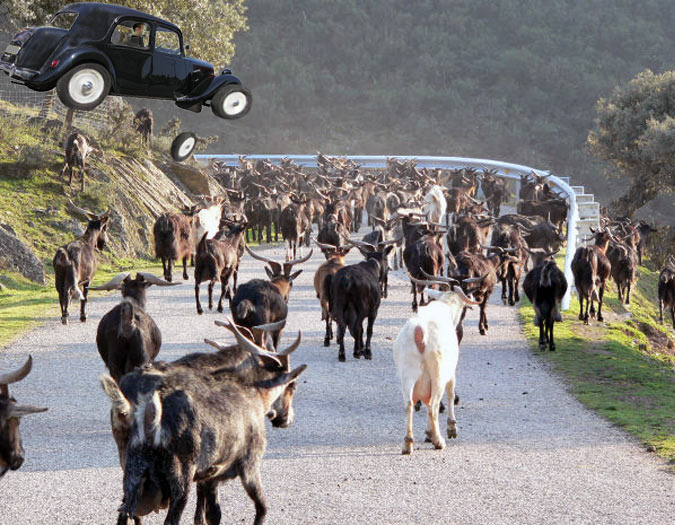 Traffic Problems - Cows in the Road